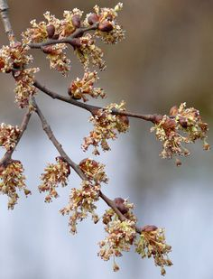 , called the European White Elm, Fluttering Elm, Spreading Elm, Stately Elm and Russian Elm It symbolises dignity in the Victorian language of Flowers. Language Of Flowers, Corpus Christi, Trees And Shrubs, Flower Pictures, Permaculture, Ecology, Garden Plants, Habitats, Roots