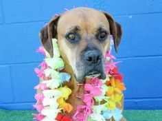 Senior Boxer in busy California shelter heartbroken and overlooked