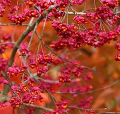 Common spindle tree, Euonymus europaeus. Beautiful small tree (3mx3m) with softly arching branches, yellow flowers in spring and pink/orange fruit in autumn. Leaves yellow/pink in autumn. Well drained soil.