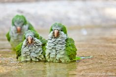 fairy-wren: quaker parrots