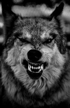 Ksichtící se vlk.