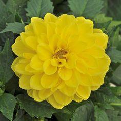 Dahlietta Julia (5 Premium Plants)