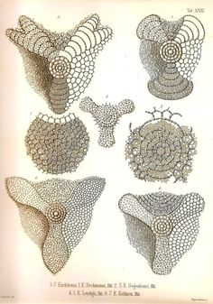 This beautiful Ernst Haeckel (1834 - 1919) illustration was printed in 2010 in Germany on heavy weight stock with wonderful attention to