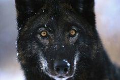 Loup noir sous la neige
