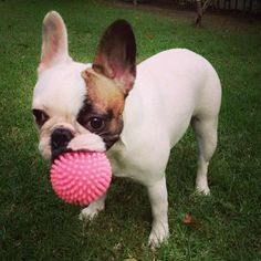 """""""Ummmmm? ........I fetched this for you, now what?"""" Adorable French bulldog Puppy."""