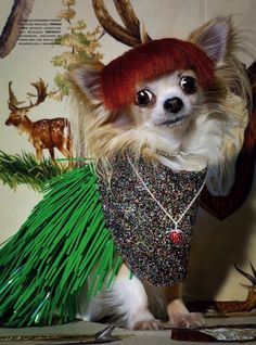 """""""an unusual elegance"""" ...chihuahuas in jewels and wigs by michael baumgarten for vogue gioiello"""