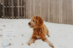 Positive Reinforcement, Poodle, Toy, Animals, Animales, Animaux, Clearance Toys, Poodles, Animal
