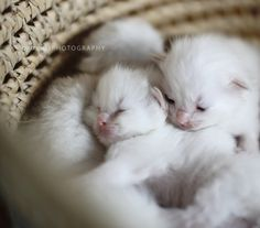 Fluffy white kittens this is what my fur babies looked like when they were little Baby Cats, Baby Animals, Cute Animals, Kittens Cutest, Cats And Kittens, Ragdoll Kittens, Beautiful Cats, Animals Beautiful, Amor Animal