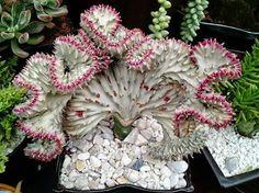 Euphorbia lactea 'Cristata'