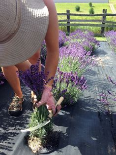 When do I harvest my lavender? Harvest the stems when about or more of the plant contains buds that have flowered. The key to harvesting at the right time is when you hear lots of busy bees pollinating the open flowers! Lavender Plant Care, Growing Lavender, Lavender Garden, Lavender Fields, Lavender Flowers, Cut Flower Garden, Flower Farm, Farm Gardens, Outdoor Gardens