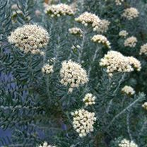 Ozothamnus Rosmarinifolius 'Silver Jubilee' from Burncoose Nurseries available online to buy - Information: silver grey foliage. Evergreen - rosemary-like, linear leaves to long, woolly beneath, the margins curved under. Horticulture, Foliage, Plants, Evergreen Shrubs, Shrubs, Sutton Seeds, Trees And Shrubs, Jubilee, Easy Care Plants