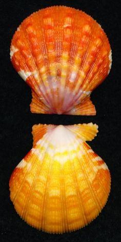 Pecten Langfordi Awesome Hawaiian Sunrise Shell PAIR 29.4 Excellent Specimen