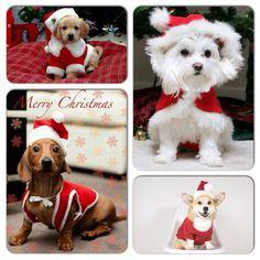 Cual les parece es el mas tierno?  #FelizNavidad #MerryChristmas #PetsWorldMagazine #RevistaDeMascotas #Panama