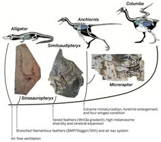 Evolutionary history of selected bird features inferred from multidisciplinary data.Recent studies demonstrate that major bird characteristics have evolved in a sequential way, and many of them initiated transformation early in dinosaur evolution, with some approaching modern conditions well before the origin of birds, whereas others appear only near the origin of the crown group birds. Source: Xu, X., Zhou, Z., Dudley, R., Mackem, S., Chuong, C., Erickson, G., & Varricchio, D. (2014). ...