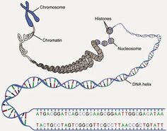 What is the difference between Chromosome and Chromatid? A chromosome consists of a single, double-stranded DNA molecule. A chromatid consists of two DNA . Biology Art, Science Biology, Computer Science, Forensic Science, Teaching Biology, Science Art, Life Science, Cardiac Muscle Cell, Nuclear Membrane