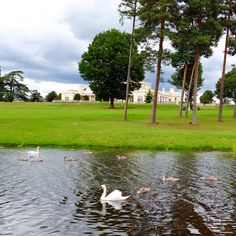 Our little cygnets are no longer very little...