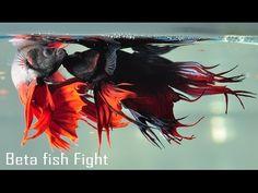 wonderful Betts fish - Amazing fighting fish colour - YouTube
