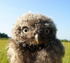 Twitter / hjcral: Little Owl chick gives me a ...