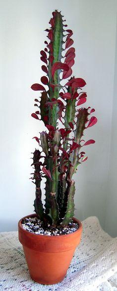 Euphorbia trigona Rubra - Google-haku