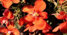morocco flower