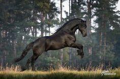 Friesian http://veramarkova.comVěra Marková - Horse Life Photographer