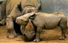 Rhino cuddle