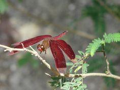 Dragonfly Mindanao, Philippines, Garden, Plants, Pictures, Cagayan De Oro, Photos, Garten, Lawn And Garden