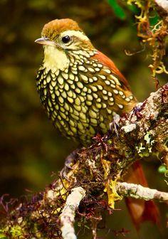 Pearled Treerunner/Margarornis squamiger: AR/ BO/ CO/ EC/ PE/ VE