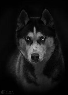 Black Husky portrait - by Tanya Kozlovsky
