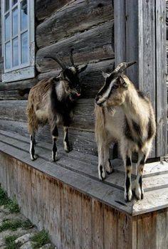Goat's