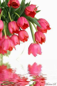 Tulips, preciosos tulipanes, preciosa imagen.