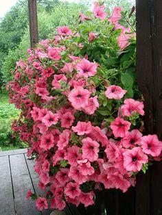 Keep your beautiful petunias around next year by harvesting the seeds! #gardening | photo: rocketswag.com