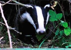 English Badger - Badgers sure are cute, but they're also fiercely territorial animals, capable of fighting off much larger animals, even bears! (Also check http://www.badgertrust.org.uk)