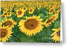 Sunflowers in Morning Light Greeting Card by Regina Geoghan