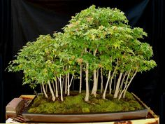 By Mark Fields. A 33 tree trident maple grove (ready for the 3rd US National Bonsai Exhibition).
