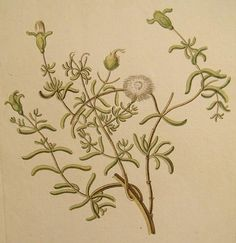Rare Knorr Folio Antique Botanical Print Ice Plant 1760 #rubylane #VintagePrint