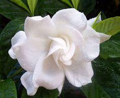 Gardenia | Gardênia Flores - Comercialização e Decoração | Flores - Cultura ...