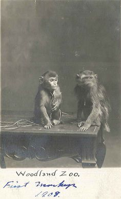 Nelley and Jim, monkeys at Woodland Park Zoo, 1908 Female Gorilla, Western Lowland Gorilla, Woodland Park Zoo, Reptile House, Blind Girl, Ostriches, Pony Rides, Pet Cage, Pacific Northwest