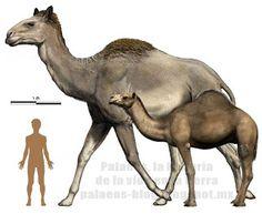 """Titanotylopus, the biggest camel to have ever existed. - Camello """"gigante"""" encontrado en el ártico."""