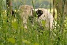 Verstoppertje. Koe cow #fotografie