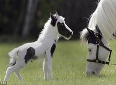 Einstein lives in Barnstead, NH & may be the smallest horse ever born