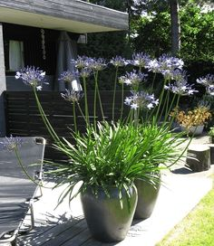 blå-skærmliljer #liljer i krukker