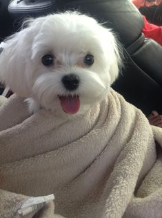Dogs - happy enough More #Maltese