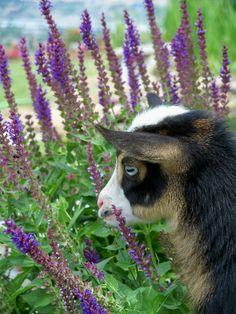 ˚Nigerian Dwarf Goat- I love the blue eyes!