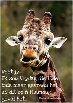 Funny Giraffe Pictures, amusing pictures of giraffe Funny Giraffe Pictures, Giraffe Photos, Gentle Giant, Cute Creatures, Interesting Faces, Funny Photos, Animal Kingdom, Cute Animals, Wildlife