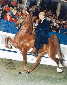 World's Champion Five Gaited Stallion Prize Contender, ridden by Don Harris.