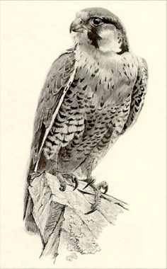 Peregrine Falcon by Robert Bateman