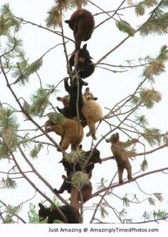 Ositos trepando a un árbol