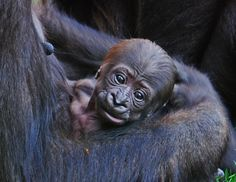 """Baby gorilla"" (www.bioparcvalencia.es)"