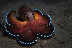 """""""This is what a Blue Glowing Coconut Octopus looks like:"""""""